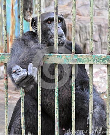 Free Gorilla In The Cage Royalty Free Stock Photo - 25482115