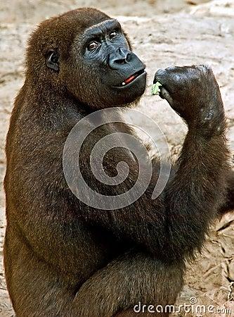 Gorilla look back
