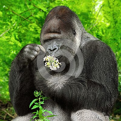 Gorilla observing a bunch of flowers