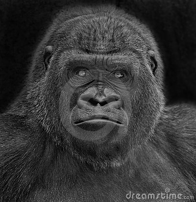 Free Gorilla Portrait Stock Photography - 5132782