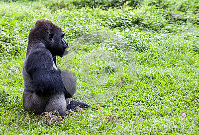 Gorilla at Ragunan Zoo - Jakarta Editorial Stock Photo