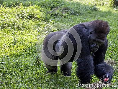 Gorilla at Ragunan Zoo - Jakarta Editorial Stock Image