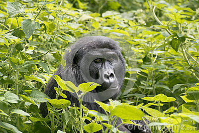 Gorilla in Jungle