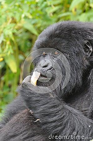 Gorilla s dinner time