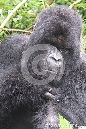 Gorilla Silverback Portrait