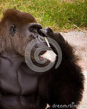Free Gorilla Thinker Royalty Free Stock Photo - 2017635