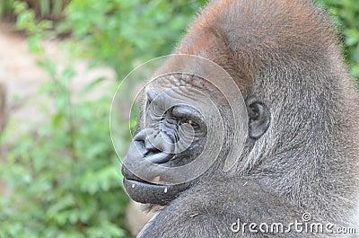 Gorilla  tooth