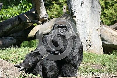 Gorilla in usa
