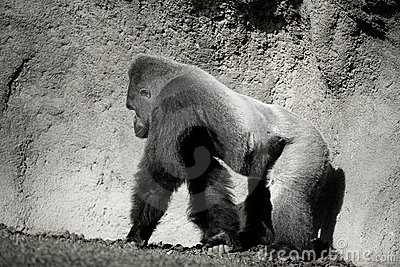 Gorilla walking, in black and white