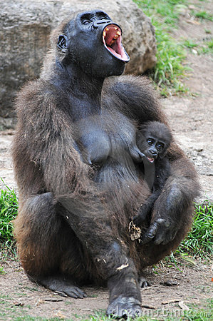 Gorilla with a young offspring screaming