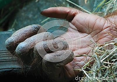 Gorillas hand