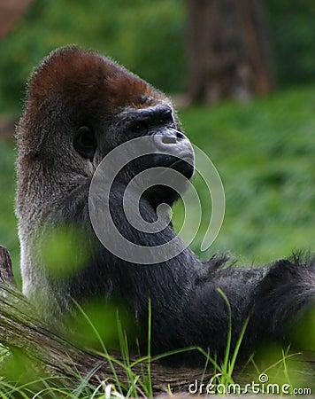 Gorille étendu