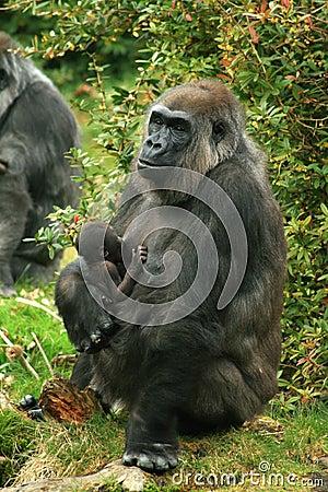 Gorrila mother nursing baby