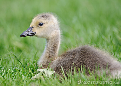 Gosling in the grass