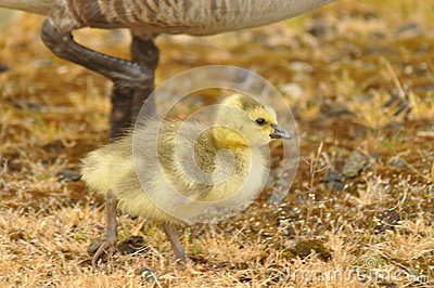 Gosling in Yellow Grass with Parent