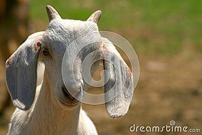 Gosse de chèvre de Nubian