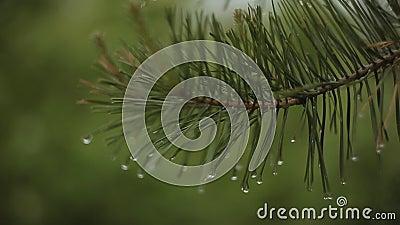 Gotas em agulhas do abeto video estoque
