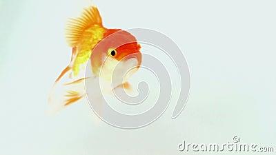 Gouden vissen stock video