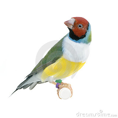 Gouldian Finch Royalty Free Stock Photo - Image: 2314545