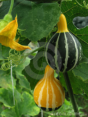 Gourds on the stems