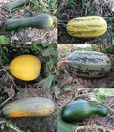 Gourds & Zucchinis