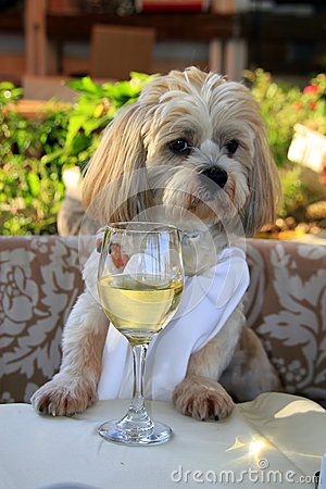 Gourmet dog with white wine