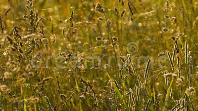 Gräs med dagg och spindel på en webbsida stock video