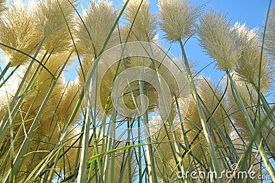 Gräs pampas