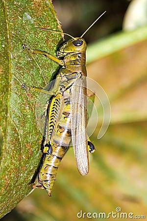 Gräshoppa macro2