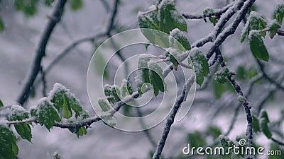 Gräsplansidor av kastanjer i snön lager videofilmer