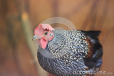 Grå färgjunglefowl