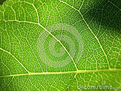 Grön leaf för 2 closeup