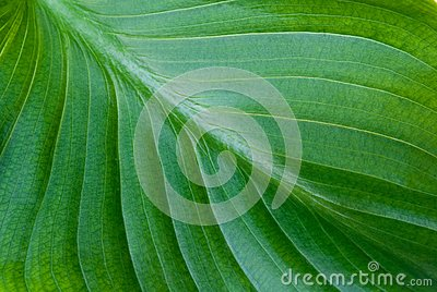 Grön leaf för bakgrund