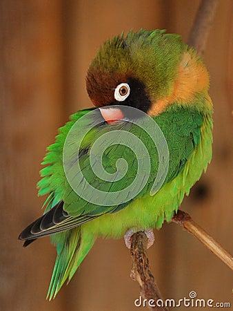 Grön liten lovebirdpapegoja för agapornis