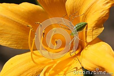 Grön lodjurspindel på lilja