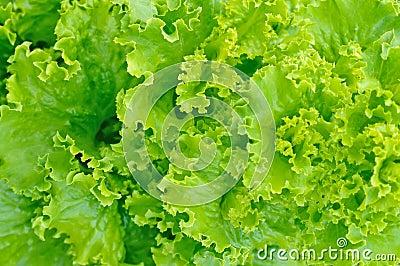 Grön sallad