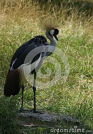 Grúa coronada africana
