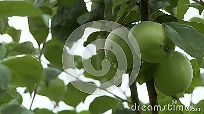 Grüne Äpfel im Limb stock footage