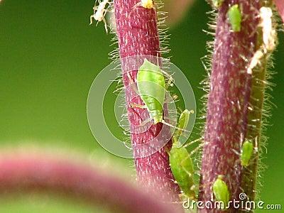 Grüne Blattlausnahaufnahme auf einem roten Stamm