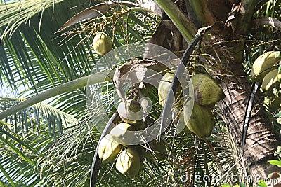 Grüne Kokosnüsse, die am Baum hängen