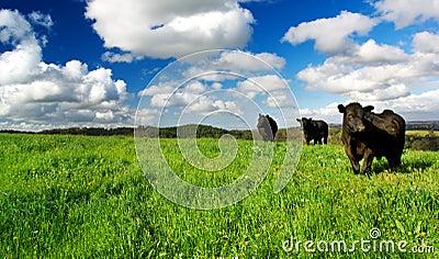 Grüne Wiesen-Kühe