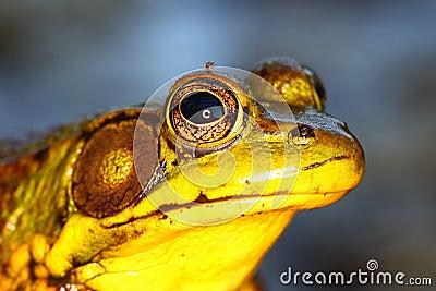 Grüner Frosch in Illinois