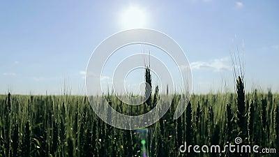 Grüner Weizen auf dem Gebiet Ährchen des Weizens beeinflussend in den Wind Landwirtschaftliches Feld im Dorf Bearbeitung von stock footage