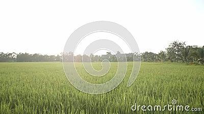 Grünes Reisfeld und Sonnenuntergang stock video