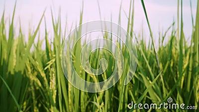 Grünes Reisfeld und Sonnenuntergang stock footage