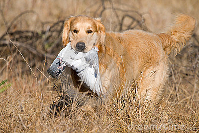 GR Golden Retriever with pigeon