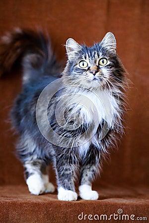 Grå katt med stora ögon