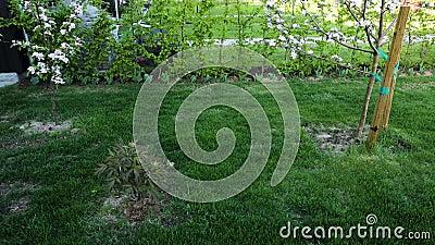 Gr?smatta f?r gr?nt gr?s med rhododendron och ursnyggt rosa och vitt blommande ?ppletr?d p? bakgrund lager videofilmer