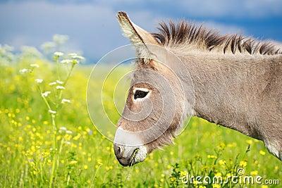 Grå åsna