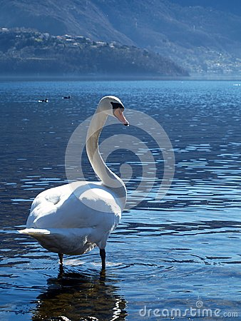 The grace of the swan